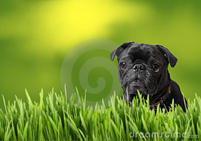 Black pug with nature