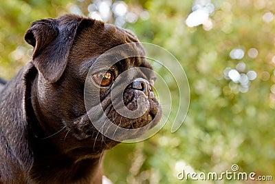 Black Pug profile