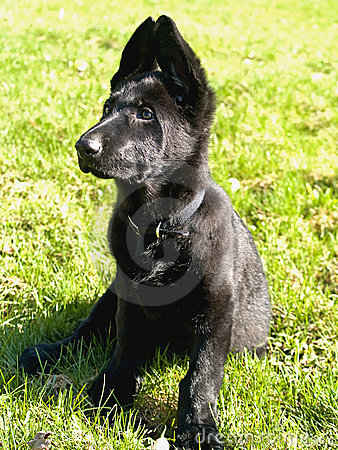 Black pure bred german shepard puppy