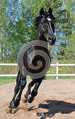 Black purebred horse gallops