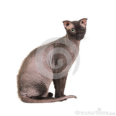 Free Black Purebred Sphinx Cat Royalty Free Stock Images - 78195859