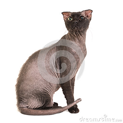 Free Black Purebred Sphinx Cat Royalty Free Stock Images - 83381999