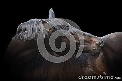 Black purebred stallion