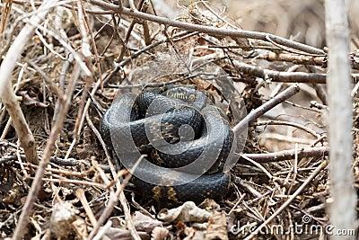 Natural Habitat Of Black Rat Snake