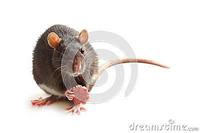 Black rat eating sausage