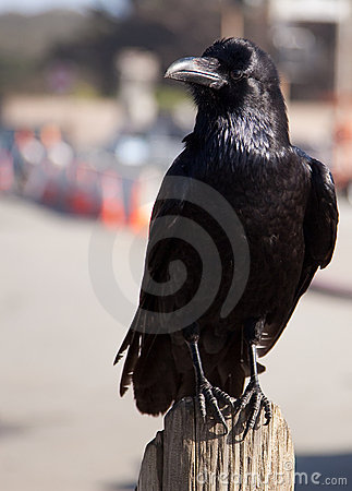 Black raven or crow