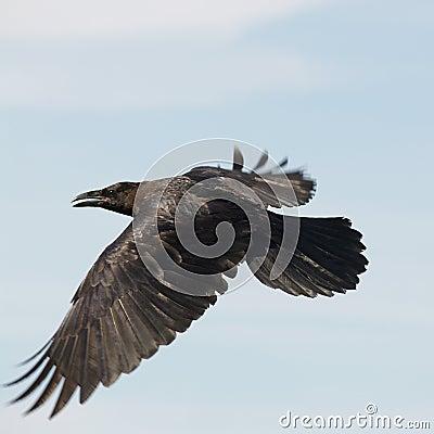 Black Raven flying