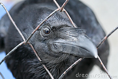 Black raven looking thru the lattice