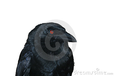 Black raven portrait