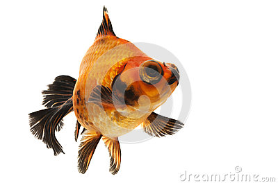 Black and Red Goldfish