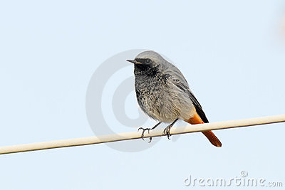 Black Redstart On The Cable