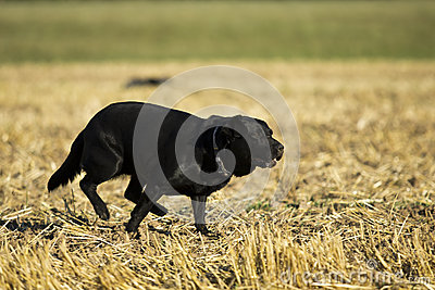 Black Retriever