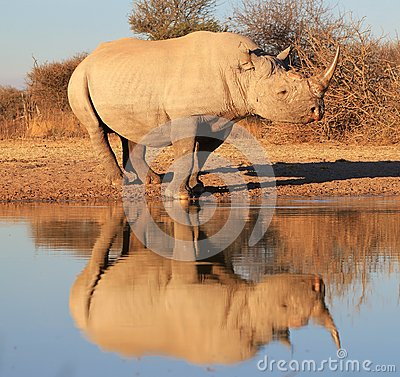 Black Rhino - Endangered - Reflection of species