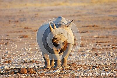 Pics Of A Female Black Rhino 75