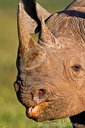 Black Rhino head shot