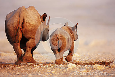 Black Rhinoceros baby and cow