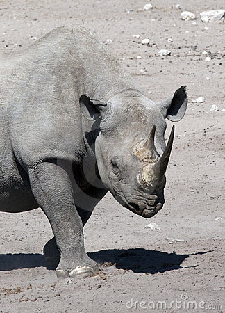 Black Rhinoceros - Namibia