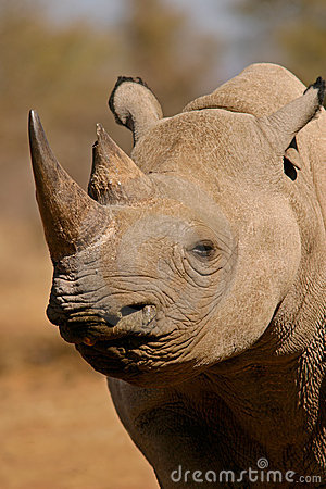 Black rhinoceros, South Africa