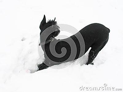 Black riesenschnauzer dog