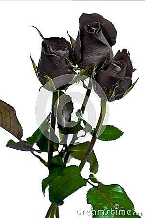 Free Black Rose Royalty Free Stock Image - 16092026