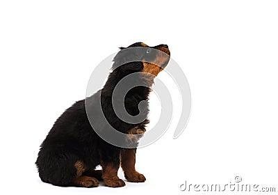 black rottweiler  puppy