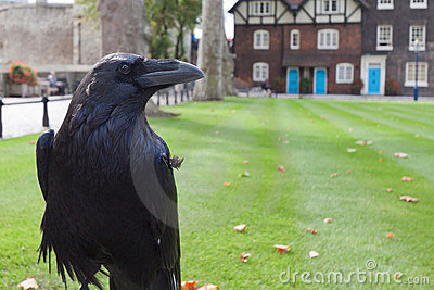 Black Royal Crow