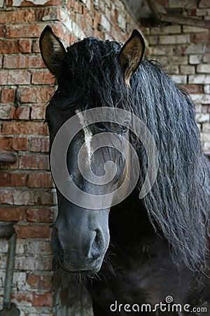 Black Russian shire horse