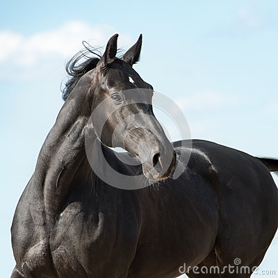 Black Russian trotter horse portrait on sky background
