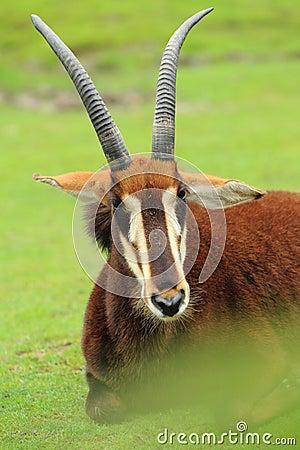 Free Black Sable Antelope Stock Images - 42716964