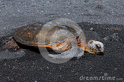 Black Sand and Green Sea Turtle
