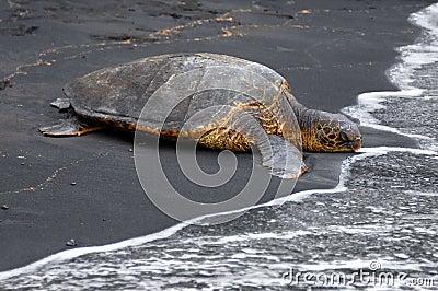 Black Sand and Sea Turtle