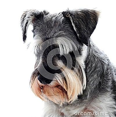 Free Black Schnauzer Dog Looking Down Stock Photos - 25161973