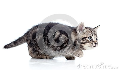 Black Scottish kitten slinks
