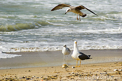 Black Sea Seagulls