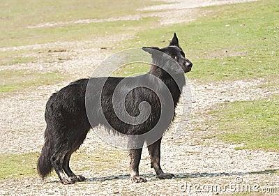 Black shaggy dog waiting