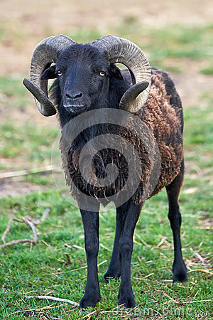 Free Black Sheep Royalty Free Stock Image - 43554786
