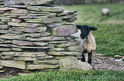 Black sheep behind the wall
