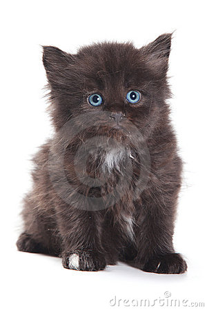 Black Siberian kitten
