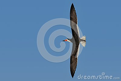 Black Skimmer in flight