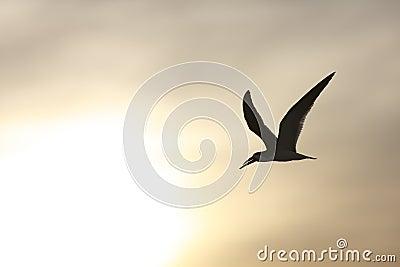 Black Skimmer (Rynchops niger niger)
