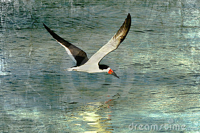Black Skimmer, Textured Art
