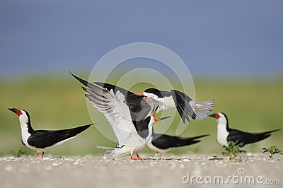 Black Skimmers  fight