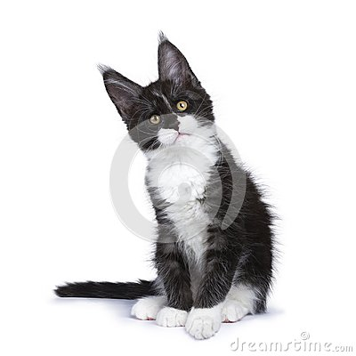Free Black Smoke Maine Coon Kitten Sitting Looking Straight Ahead Stock Photos - 102161183