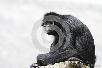 Black Spider Monkey ( Ateles paniscus)