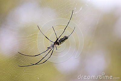 Black spider on web