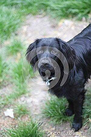 Black Springer Spaniel