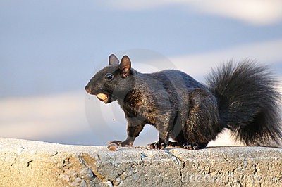 Black Squirrel with Acorn