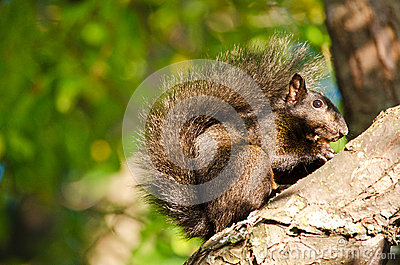 Black squirrel on a branch
