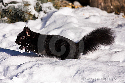 Black Squirrel In Winter