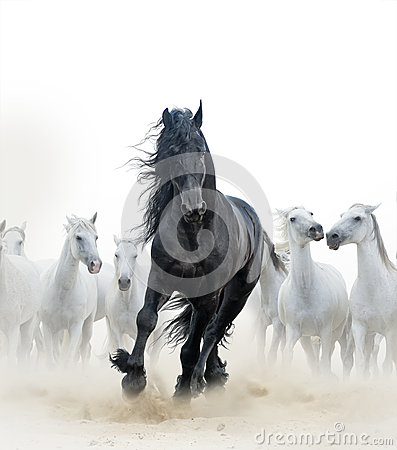 Free Black Stallion And White Horses Stock Image - 62299801